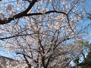 00735670-550A-46A6-A2B0-AB7EC20703DD.jpeg桜